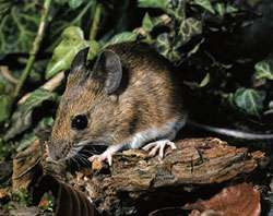 Mice have biological clock for smell