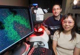 Scientists identify gene involved in stem cell self-renewal in planaria