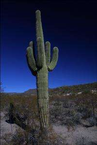How Did Cactuses Evolve