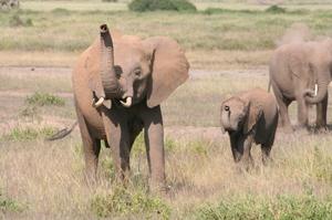 Elephants can 'smell danger'