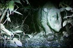 A Sumatran rhinoceros