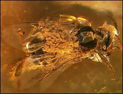 This handout photo from Harvard University shows an amber-preserved stingless bee carrying pollinia of Meliorchis caribea
