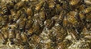 Honey bees on hive frame