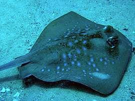 Behavioural tests probe ray and shark colour vision