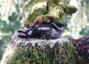 Biologists shed light on health of marbled murrelet population in early 1900s