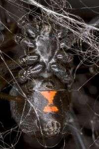 Biologists unravel the genetic secrets of black widow spider silk
