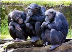 Chimpanzees found to use tools to hunt mammalian prey