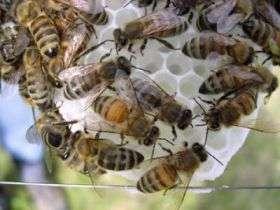 Genetic diversity in honeybee colonies boosts productivity