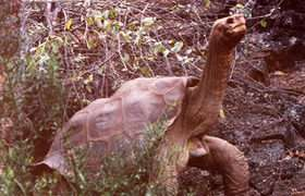 Lonesome George may not be so lonesome after all