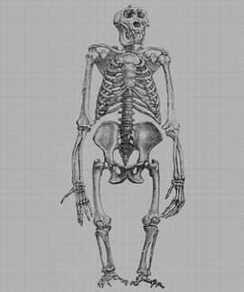 Human ancestors had short legs for combat, not just climbing