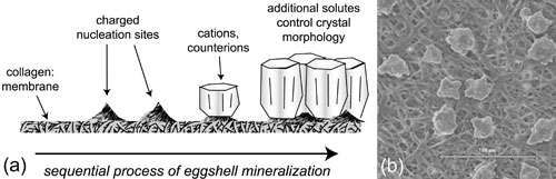 Hatching a New Model for Biomineralization