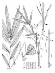 Hill Cane -- Arundinaria appalachiana