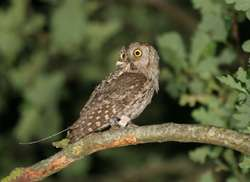 How male owls pitch their wits to show who's who