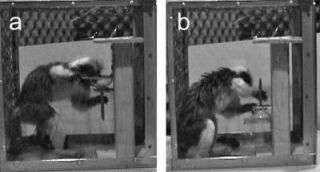 Like humans, monkey see, monkey plan, monkey do