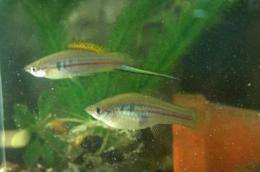 Male and female green swordtail fish