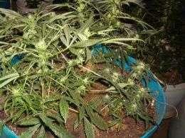 Marijuana smoke contains higher levels of certain toxins than tobacco smoke