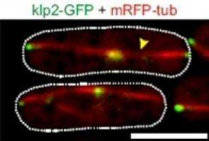Molecular motors and brakes work together in cells