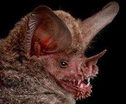 Provisional New Bat Species