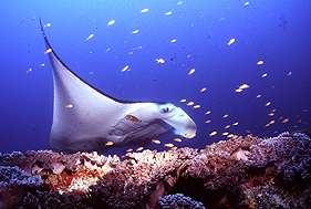 Scientists target manta ray mysteries