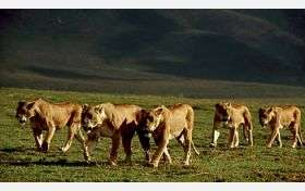 Study of Lions and Wildebeest Finds Being Social Stabilizes Ecosystems