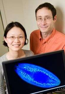 Study of Planarians Offers Insight into Germ Cell Development