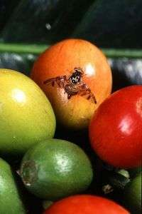 Tiny pest-eating insect fights fruit flies
