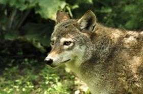 Who's afraid of the big, bad wolf? Coyotes
