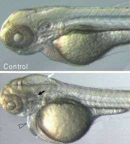 Can you hear me now? How the inner ear's sensors are made