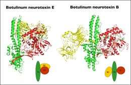 Scientists reveal structure of new botulism nerve toxin subtype