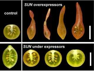 Scientists discover gene that controls fruit shape