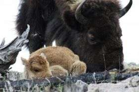 Bison can thrive again, study says