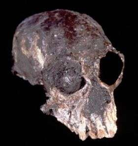 Chilecebus Skull