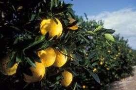 Citrus Crop Irrigation