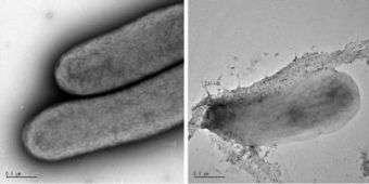 Cyanobacteria, Wild-type and Modified