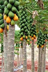 First draft of transgenic papaya genome yields many fruits