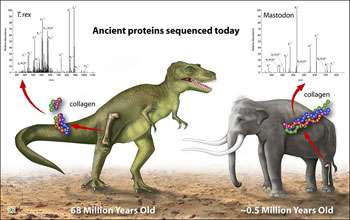 Genetic Sequencing of Protein from T. rex Bone Confirms Dinosaurs' Link to Birds