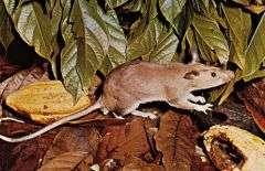 Giant Pouched Rat - Via Britannica Encyclopedia