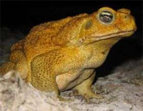Invasion of the cane toads