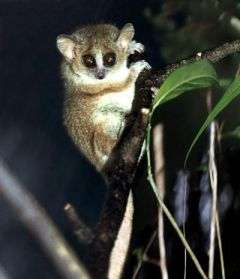 It started with a squeak: Moonlight serenade helps lemurs pick mates of the right species
