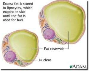 New study finds number of fat cells stays constant throughout life