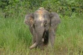 Pygmy Elephant with Radio Collar