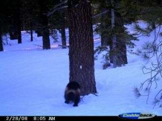 Scientists Believe Photograph Depicts Wolverine in California