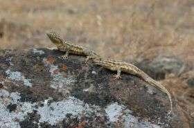 Side-Blotched Lizards