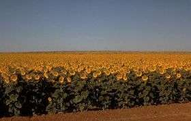 Silicon's effect on sunflowers studied