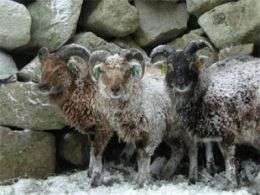 Soay Sheep