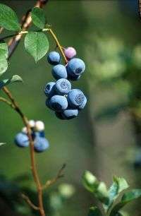 Southern farmers realize profits from highbush blueberries