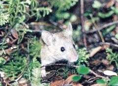 Viking mice tell tales of British Isles