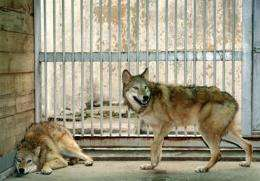Cloned female wolfs, named Snuwolf (from the Seoul National University wolf) and Snuwolffy, are seen in Seoul