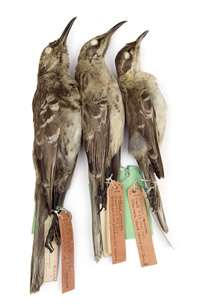 Darwin's mockingbirds DNAresearch may help species recovery
