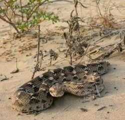 Research identifies importance of diet in snake venom evolution